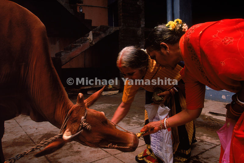 In India, Chennai Province -Cows have been worshipped in India for 3500 years.