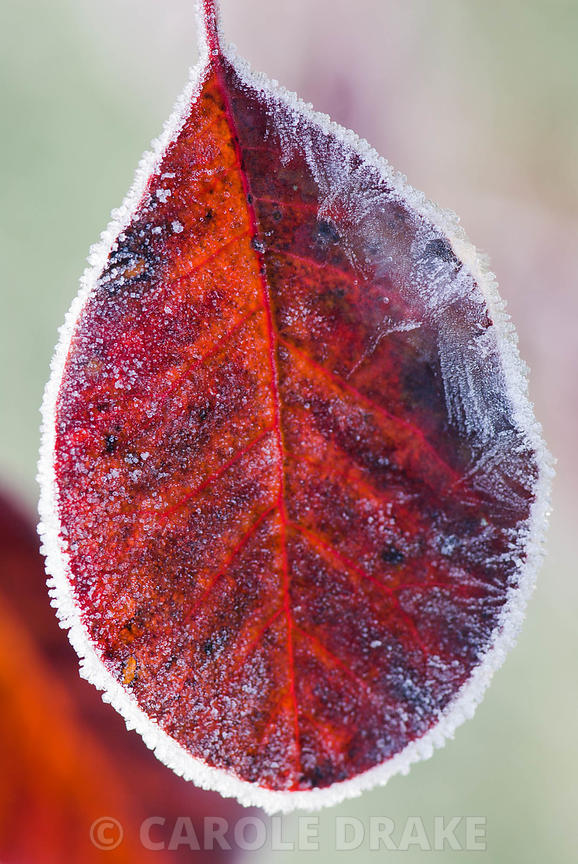 Deep red purple foliage of Cotinus coggygria 'Royal Purple' edged with October frost