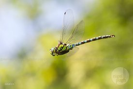 Male Southern Hawker: