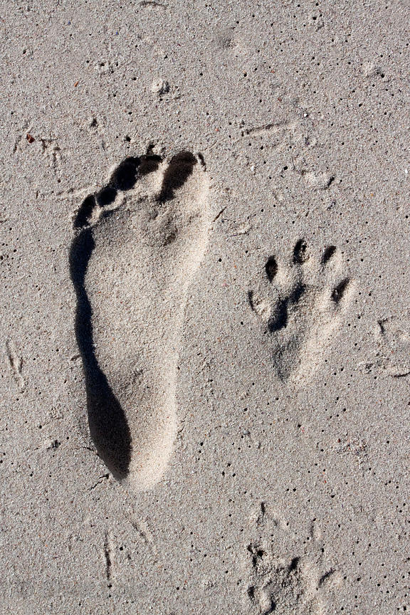 The photographer's footprint next to that of a chacma baboon,  on the beach at Buffels Bay, Cape Peninsula, South Africa