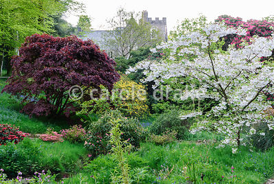 Pale blossom of Prunus 'Shogetsu' and a dark purple acer frame a view of the Victorian Gothic house, built 1862. Lukesland, H...