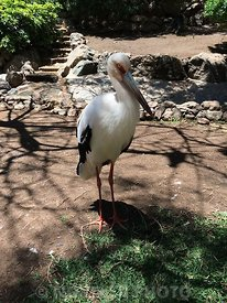 A White stork at Palmitos Park