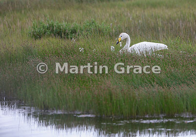 Whooper Swan (Cygnus cygnus) in poolside vegetation with moulted feathers, Myrar, Austurland (Eastern Region, East Iceland), ...