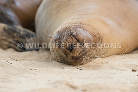 galapagos_sea_lion_santa_fe_sand_face-3