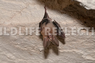 waterhouse_bat_hanging_12