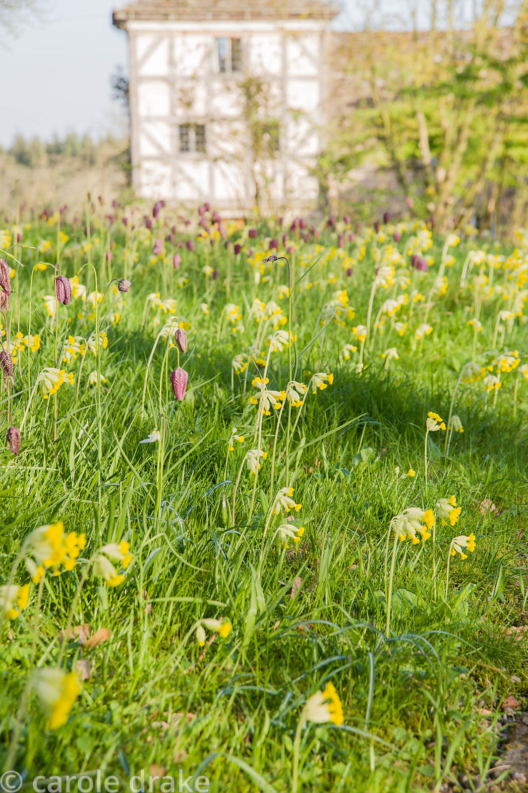 Cowslips and snakeshead fritillaries mingle in grass around the drive at Brilley Court Farm, Whitney-on-Wye, Herefordshire, UK