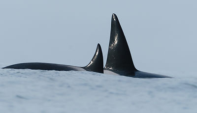 Orcas on the Crest