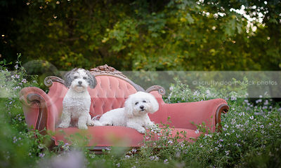 two small groomed dogs resting on pink settee in meadow of flowers
