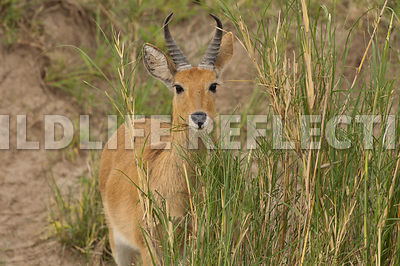 Reed Buck Nibbling Grass 1