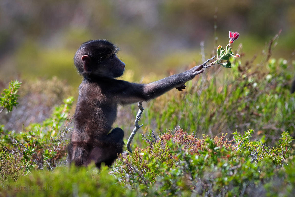 A baby baboon from the Kanonkop troop reaches for a flower in Smitswinkel Flats, Cape Peninsula, South Africa