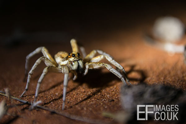 Wolf Spider At Night