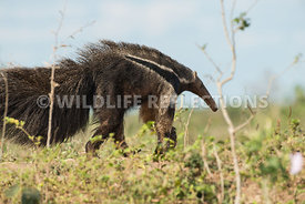giant_anteater_walking-6
