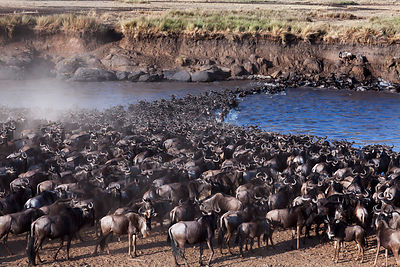 Eastern White-bearded Wildebeest (Connochaetes taurinus) herd crossing the Mara River. Maasai Mara National Reserve, Kenya.