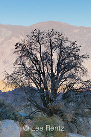 Fire-killed Pinyon Pine in the Alabama Hills