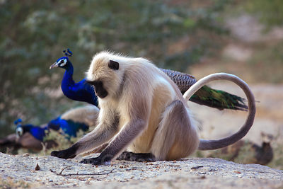 Langur monkey and wild peacock, Ajaypal, Rajasthan, India