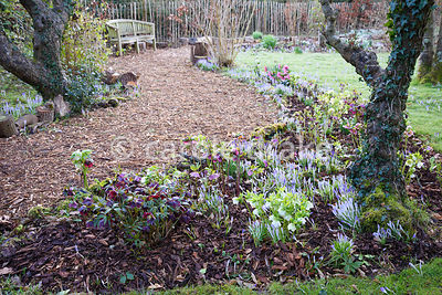 Hellebores and Crocus tommasinianus in a border at The Down House, Hampshire in winter
