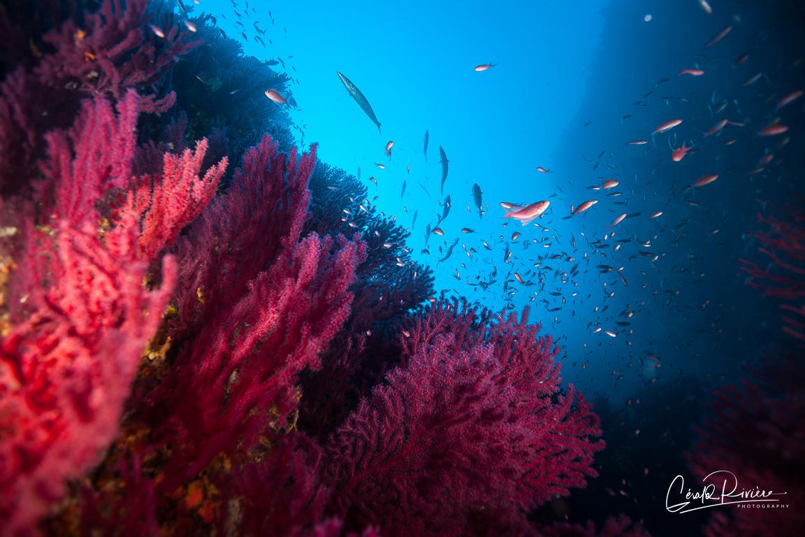 Gorgones, anthias et barracoudas.