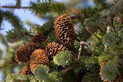 Sitka spruce cones (Picea sitchensis), Chugach National Forest, Alaska