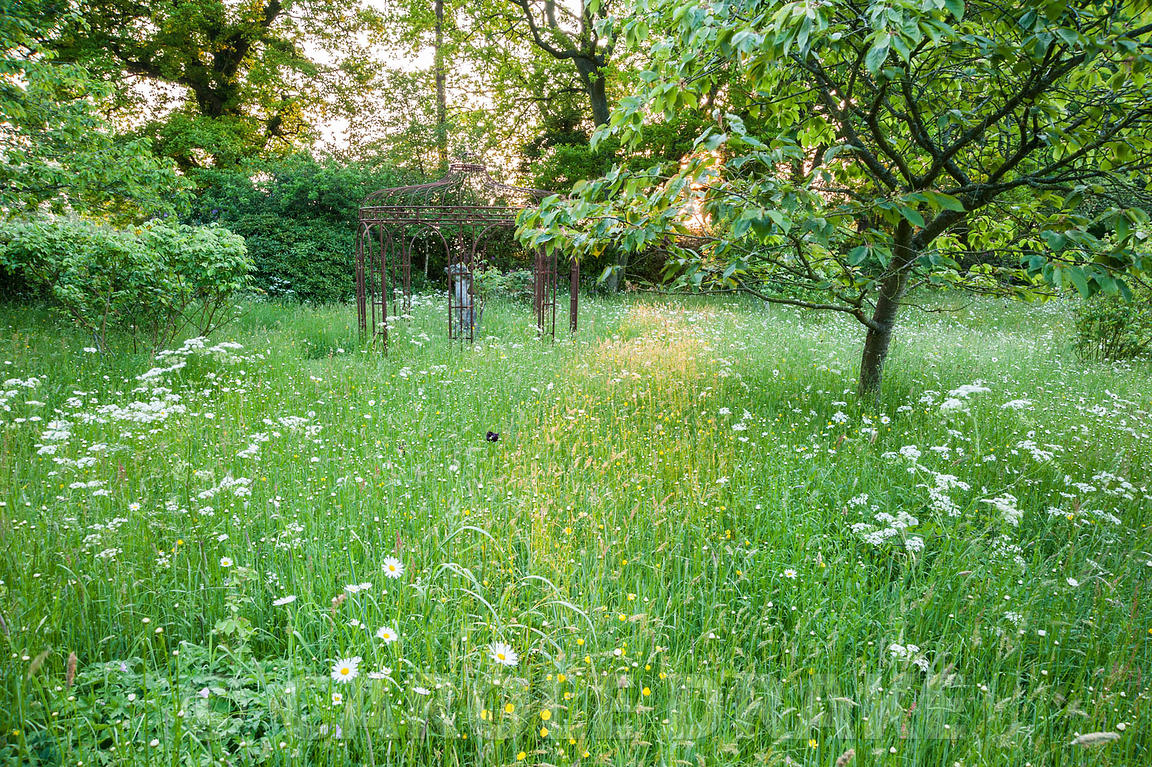 Dawn sunlight illuminates a path of long grass in the meadow, full of buttercups, cow parsley and ox-eye daisies. King John's...