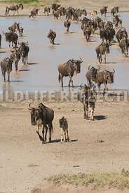 wildebeest_lake_crossing_sequence_02242015-43