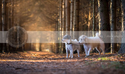 two jack russell terrier dogs standing in pine forest with sunlight