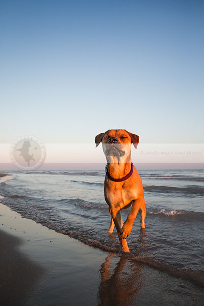 blissful dog with eyes closed pointing standing in beach waves
