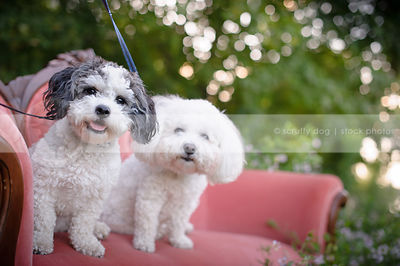 two little groomed dogs on pink settee outdoors in summer