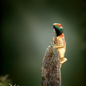 Ground agama sunbathing