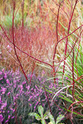 Red stems of cornus amongst heathers, hellebores and other cornus varieties in a winter garden.