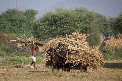 A man loads cuttings onto an ox-cart near Rajgarh village, Pushkar, Rajasthan, India