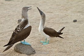 Two blue-footed boobies rehearse their mating dance on the shoreline of North Seymour Island.