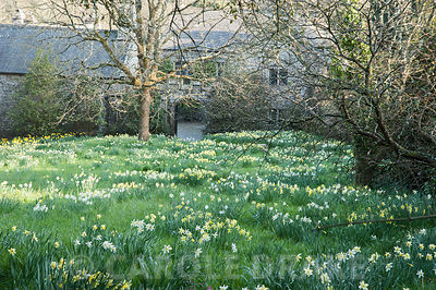 Meadow of naturalized daffodils on the north west side of the house. Cotehele, Cornwall, UK