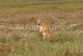 kangaroo_red_field-1