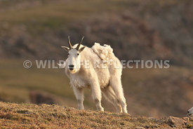 mountain_goat_stance