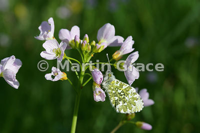 Female Orange Tip butterfly (Anthocharis cardamines) on Lady's Smock (Cuckoo Flower) (Cardamine pratensis) with orange 2- to ...