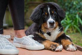 Bernese Mountain Dog Lying Next to Woman wearing shiny tennis shoes
