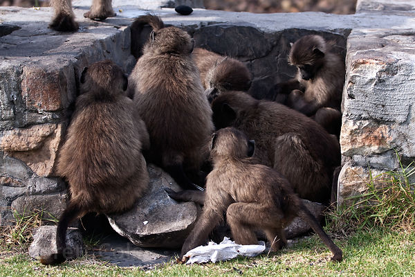 Chacma baboons from the Buffels Bay troop lick the ashes from a recently extinguished barbecue pit, Buffels Bay, Cape Peninsu...
