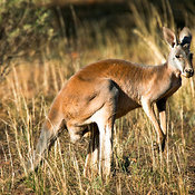Eastern Grey Kangaroo (Macropus giganteus) near the Barrier Highway, Route 32, New South Wales, Australia