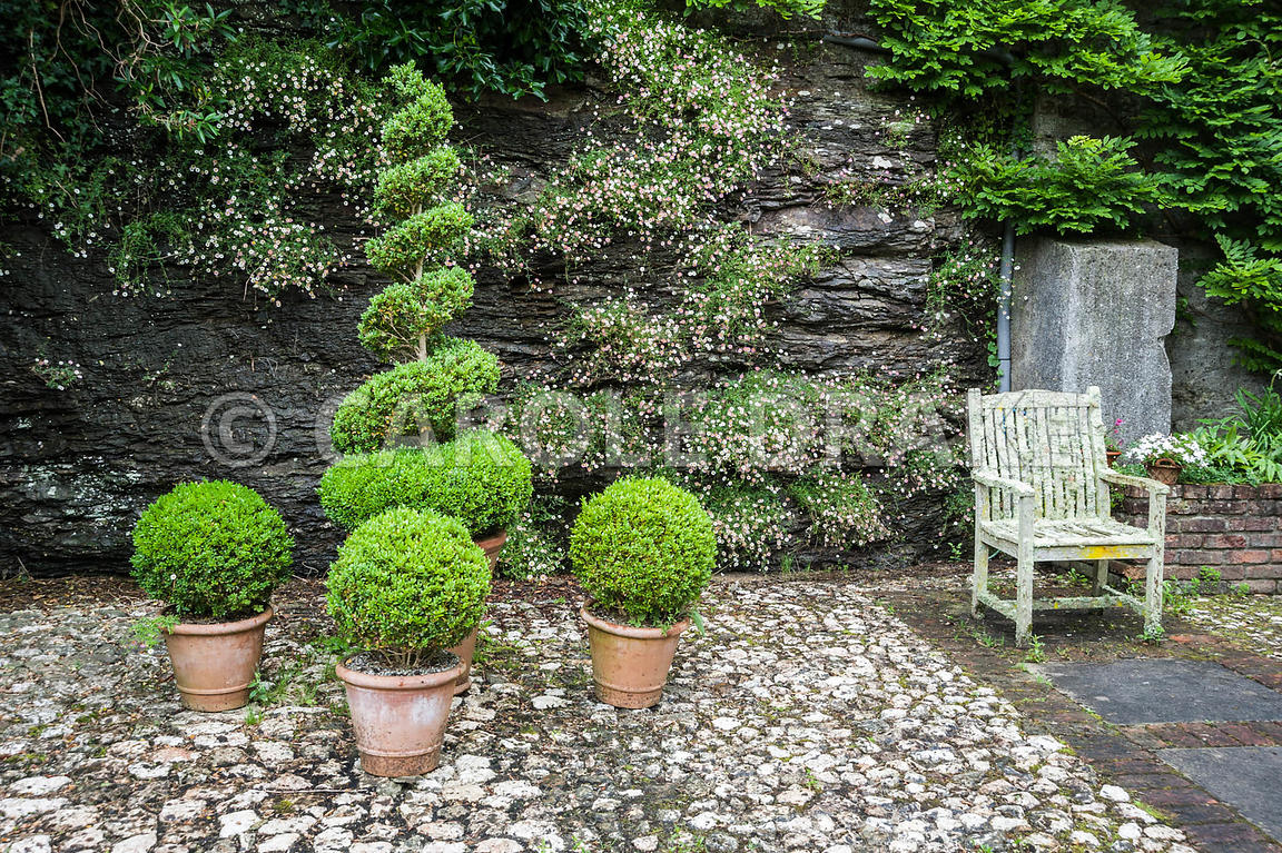 A group of clipped box shrubs in front of stone wall colonised by Mexican daisy, Erigeron karvinskianus, with lichen encruste...