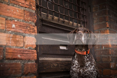 portrait of alert brown speckled dog at wood door in urban brick wall