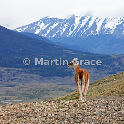 Male Guanaco (Lama guanicoe) on sentry duty, looking for Pumas, Estancia Laguna Amarga, Torres del Paine, Patagonia, Chile
