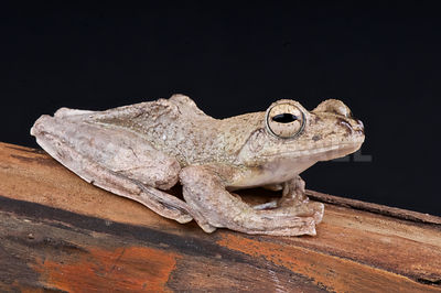 Brown flying frog (Rhacophorus annamensis) photos