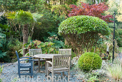 Shaped box and rhododendron  with palms and red acer around a seating area on a raised gravel terrace. The Cors, Laugharne, C...
