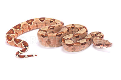Northern boa (Boa imperator)