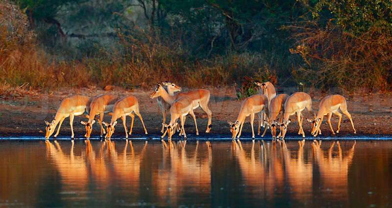 Impala herd with reflections in water