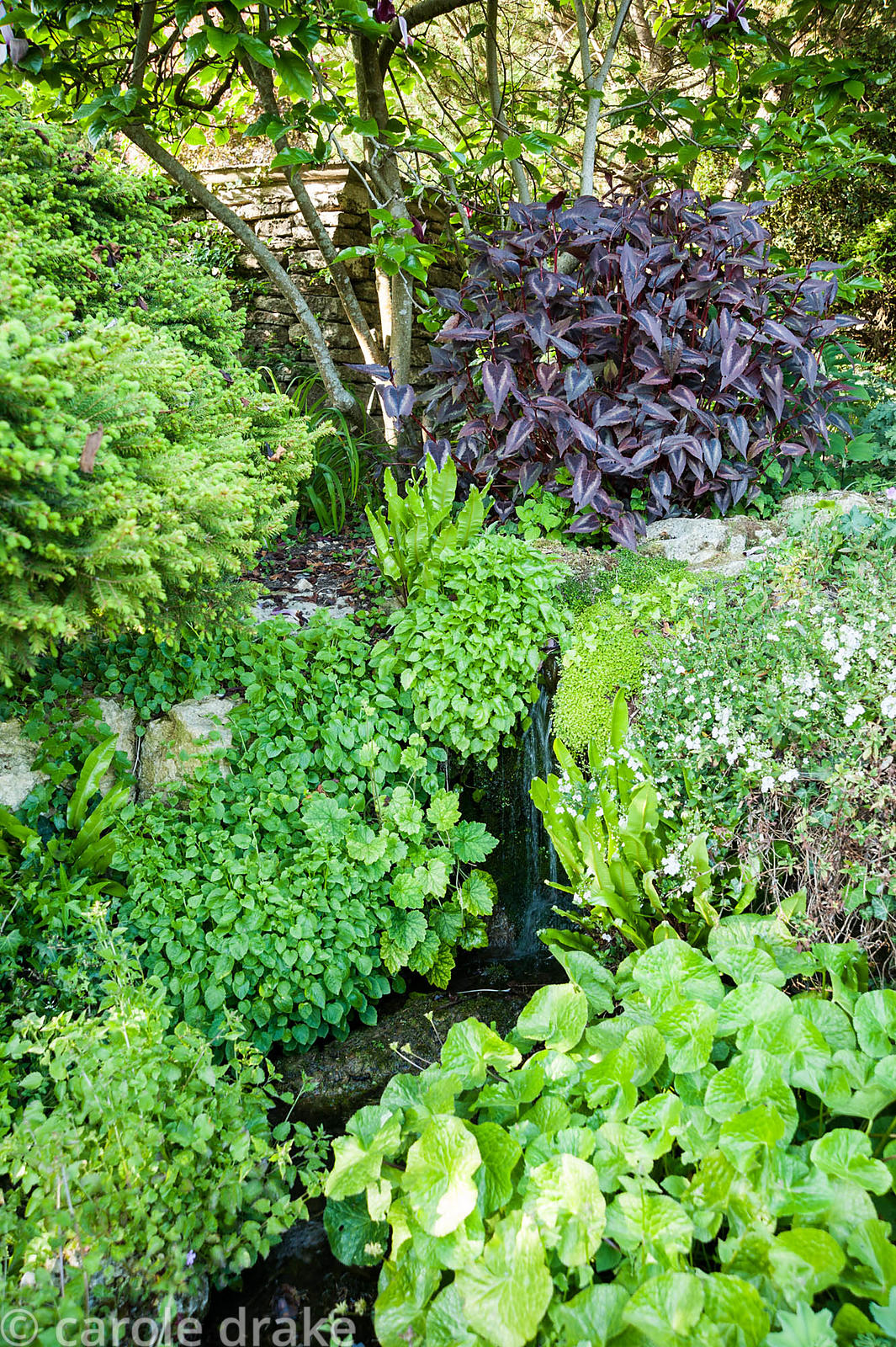 Ferns, Persicaria 'Red Dragon' and other foliage plants around a trickling stream. Iford Manor, Bradford-on-Avon, Wiltshire