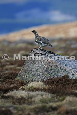 Rock Ptarmigan male (Lagopus muta), June 9, Cairngorm, Scottish Highlands