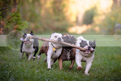 four small dogs carrying one stick together