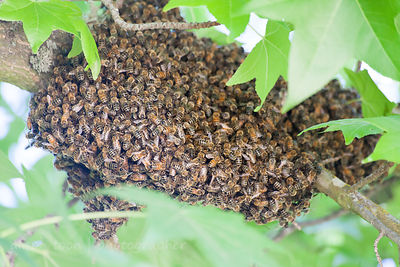 Honey bees swarming in Citrus Heights, California, 20th June 2013