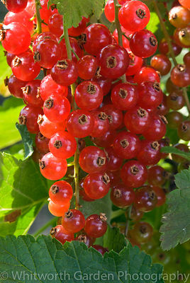 Redcurrant 'Red Poll'. © Jo Whitworth